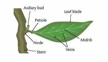Petiole (botany) What is the petiole and what is its function Quora