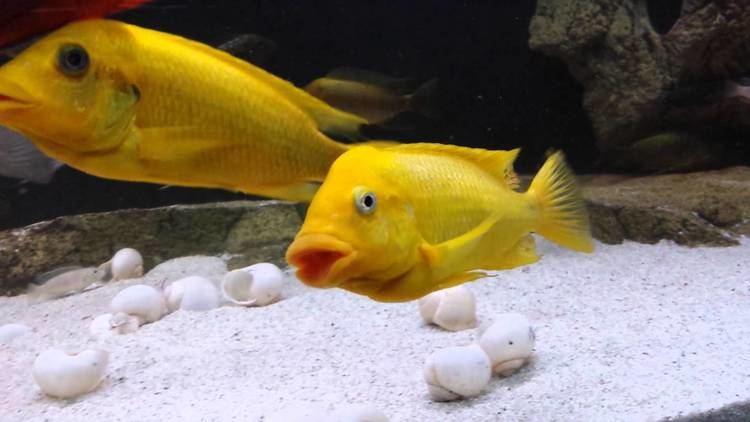 Petrochromis Petrochromis yellow moshi mabilibili YouTube