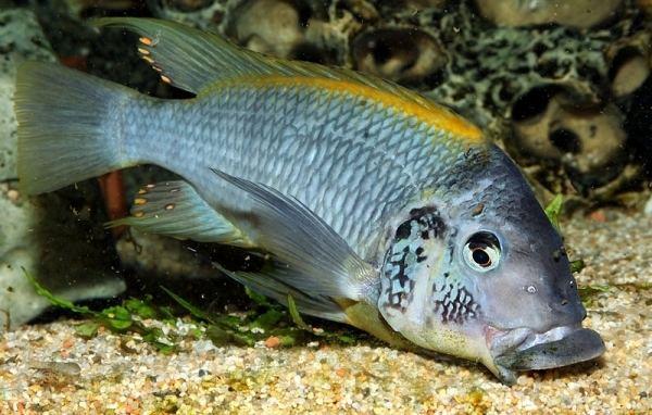 Petrochromis petrochromiscomforumsimagesmiscgernotPetroch