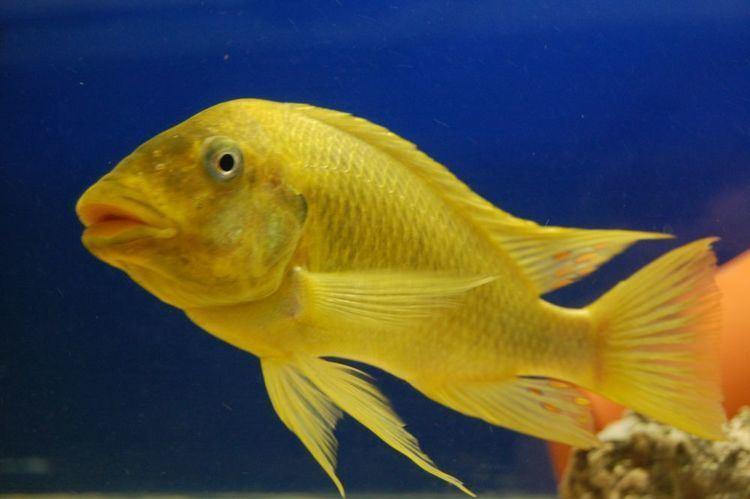 Petrochromis Petrochromis sp moshi Yellow The Cichlid Room Companion