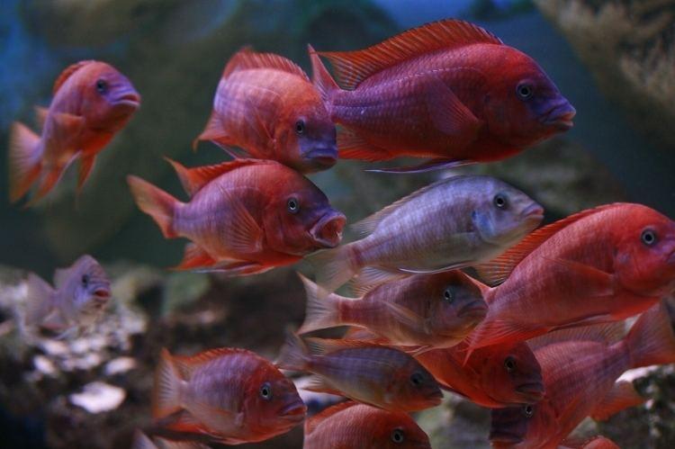 Petrochromis Petrochromis sp Red Bulu Point Tropical Fish Site