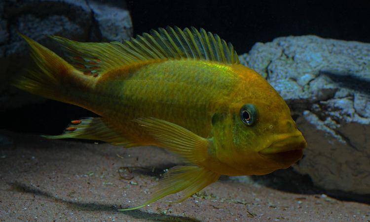 Petrochromis FilePetrochromis spMoshijpg Wikimedia Commons