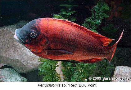 Petrochromis Care and Maintenance of Petrochromis Part 1