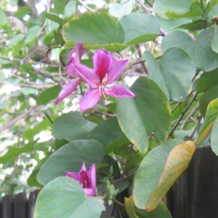 Phanera purpurea ORCHID TREE Phanera purpurea Live Plants amp Seeds