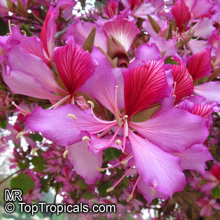 Phanera variegata Bauhinia variegata Phanera variegata Orchid tree Purple orchid