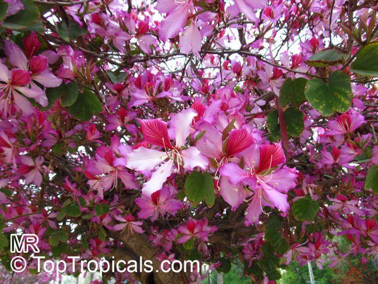 Phanera variegata Bauhinia Orchid Tree TopTropicalscom