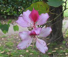 Phanera variegata httpsuploadwikimediaorgwikipediacommonsthu