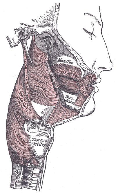 Pharyngeal muscles
