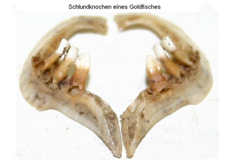 Pharyngeal teeth