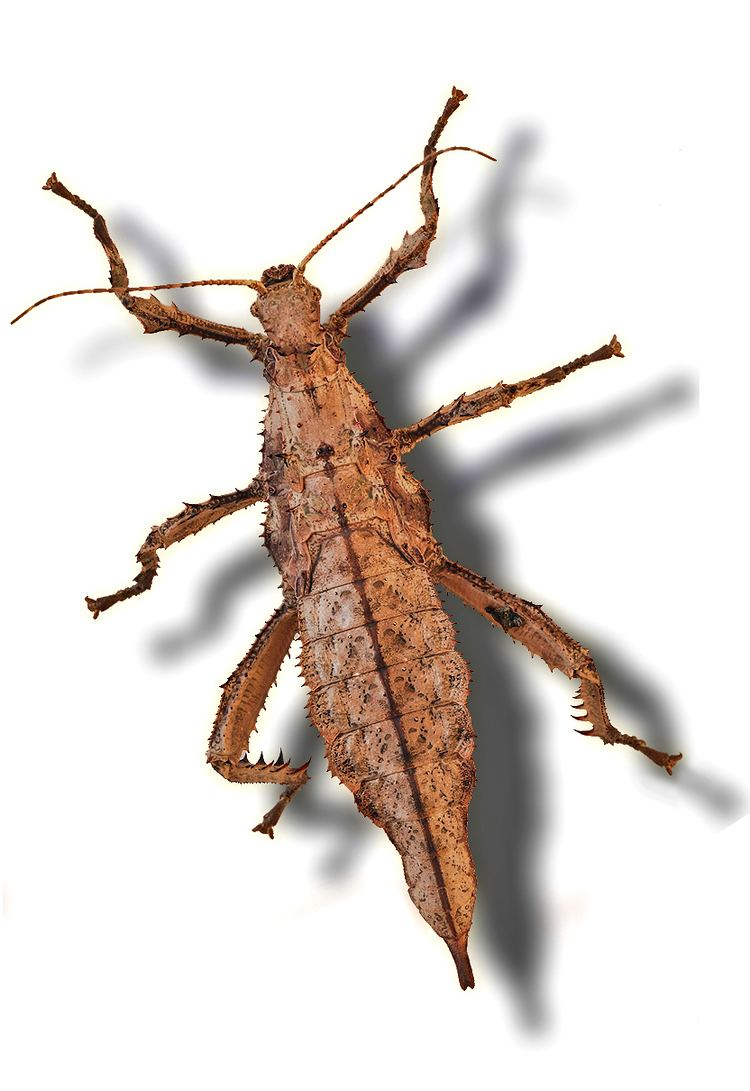 Phasmatodea Blog Post 2 What Sticks out About Phasmatodea Phasmatodea