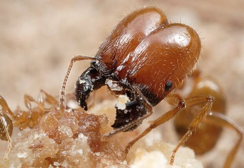 Pheidole Search Results pheidole
