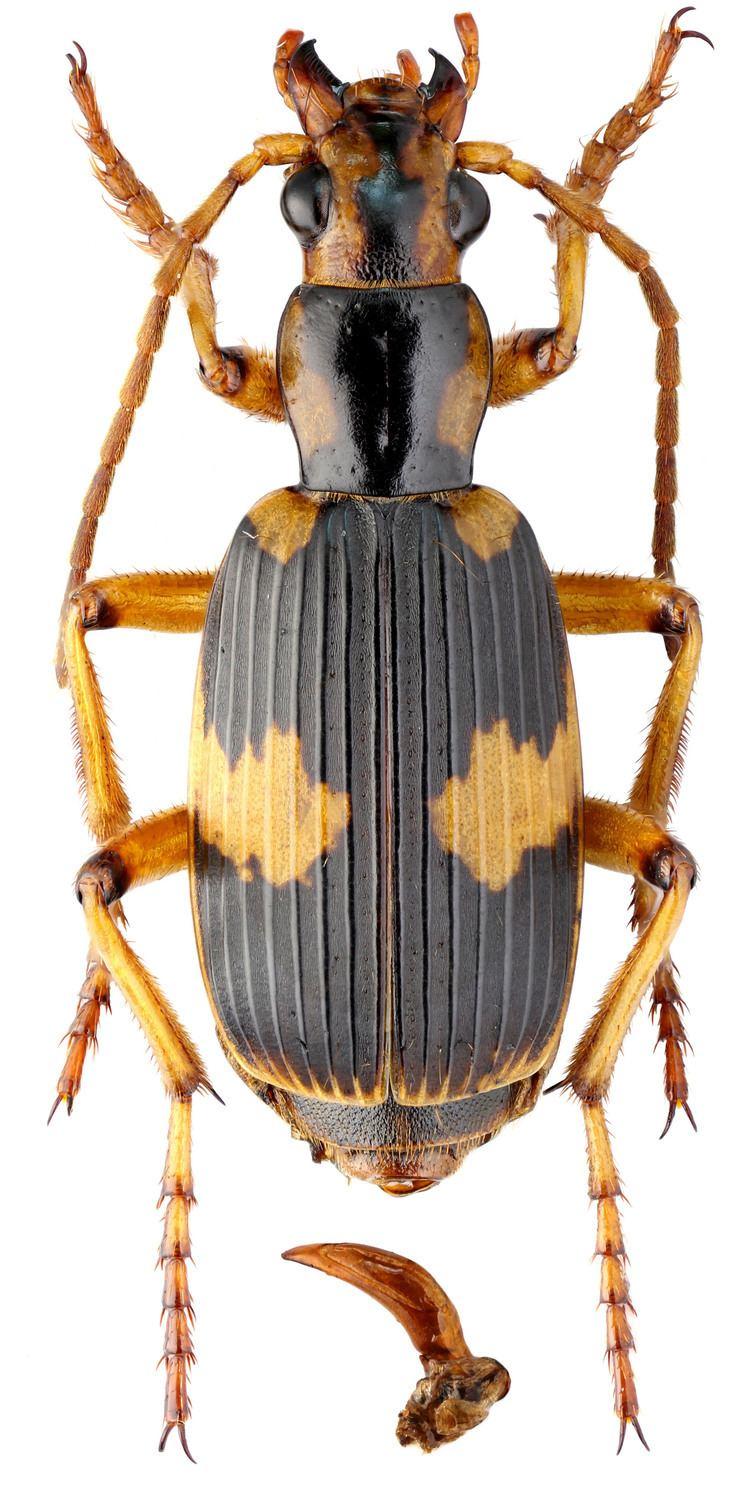 Pheropsophus Pheropsophus Stenaptinus occipitalis WSMacleay 1825 Carabidae