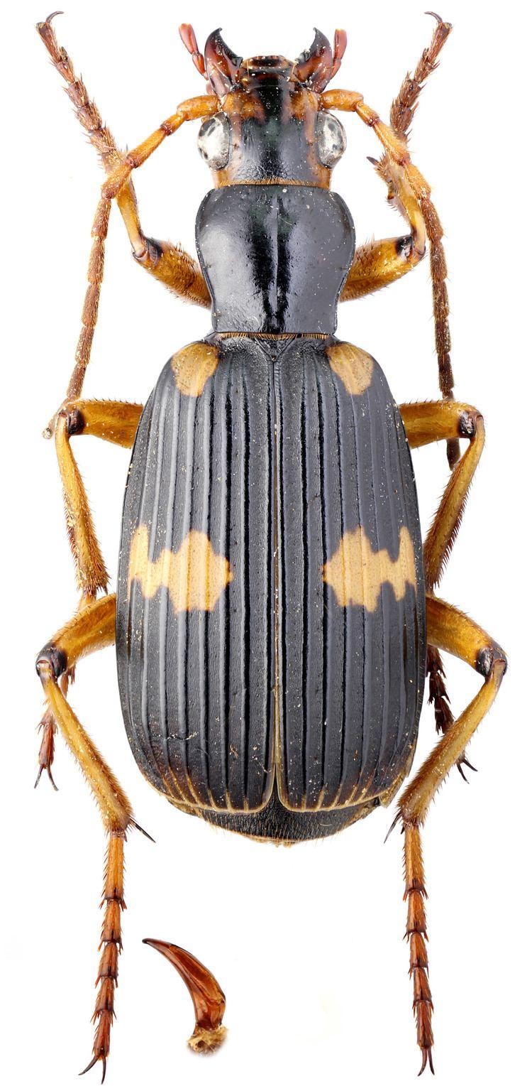 Pheropsophus carabidaeorgcarabidaePheropsophus20Stenaptinus