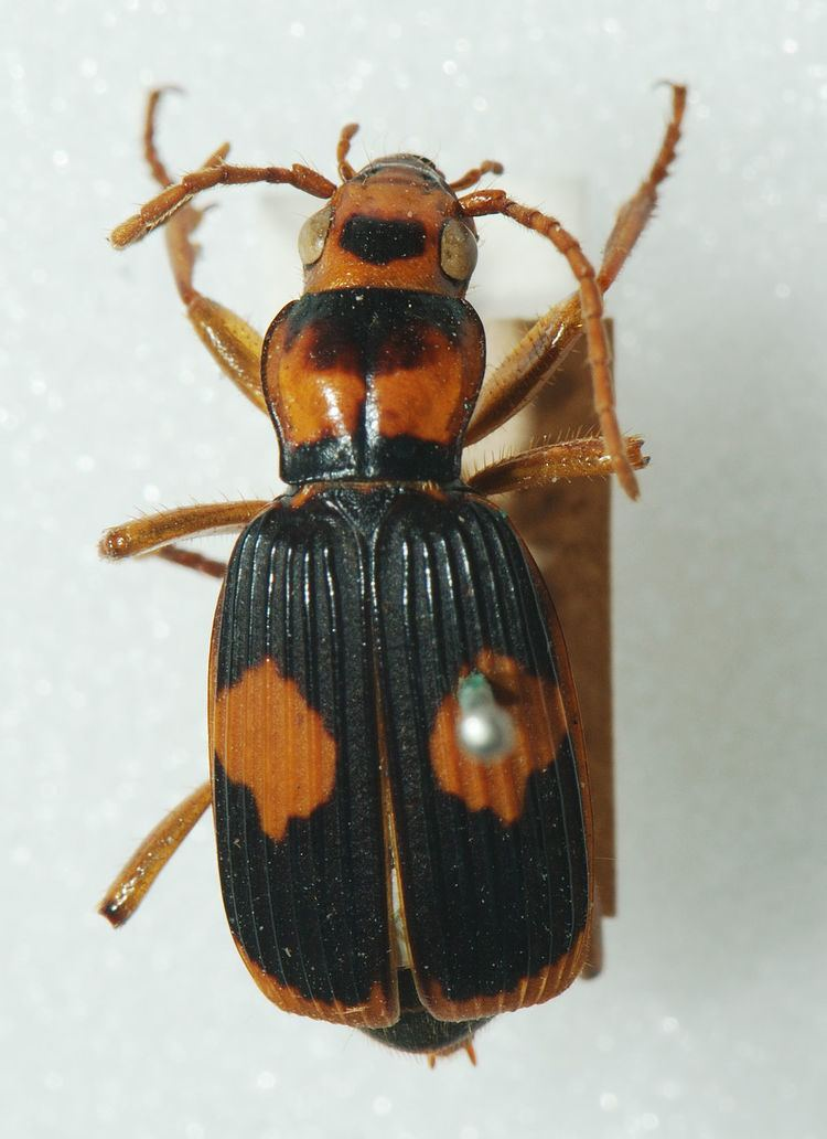 Pheropsophus Pheropsophus Wikipedia
