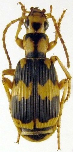 Pheropsophus Genus Pheropsophus iNaturalistorg