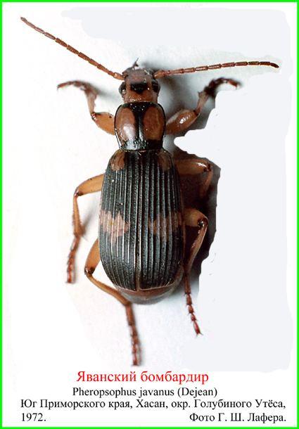 Pheropsophus Pheropsophus javanus Dejean 1825