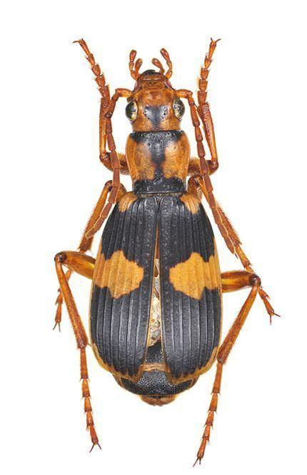 Pheropsophus Pheropsophus Stenaptinus jessoensis AMorawitz 1862 Carabidae