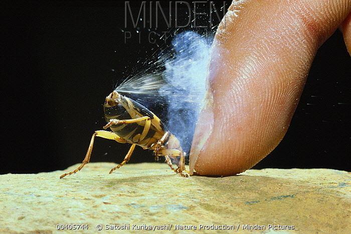 Pheropsophus Minden Pictures stock photos Bombardier Beetle Pheropsophus