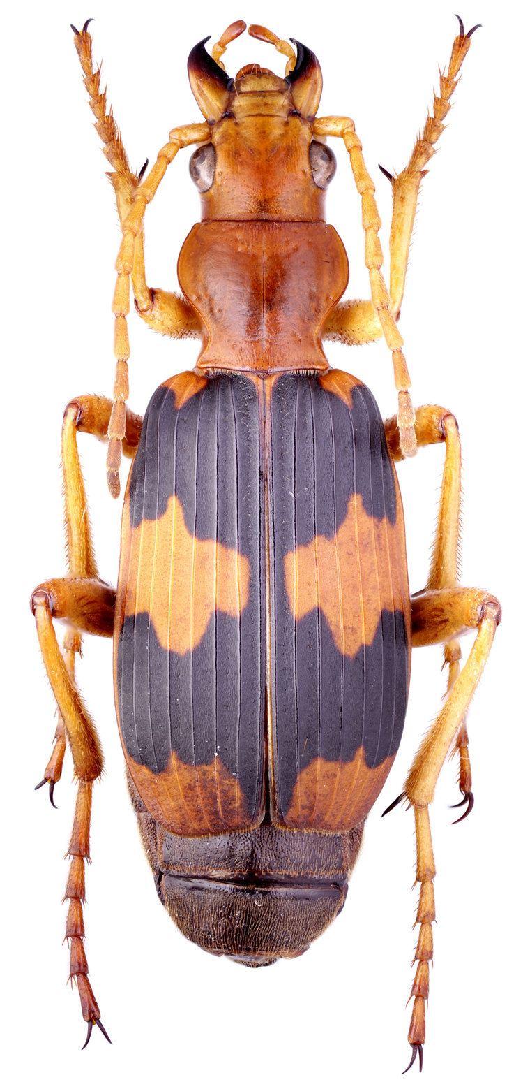 Pheropsophus Genus Pheropsophus Solier 1833 Carabidae