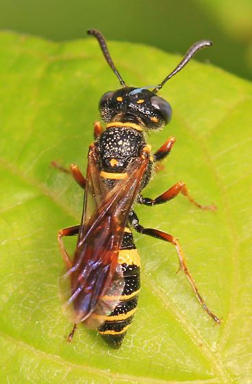 Philanthus gibbosus black and yellow wasp with grayblue eyes Philanthus gibbosus