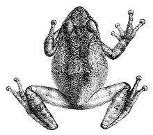 Philautus httpsuploadwikimediaorgwikipediacommonsthu