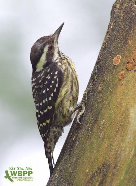 Philippine pygmy woodpecker Oriental Bird Club Image Database Philippine Pygmy Woodpecker