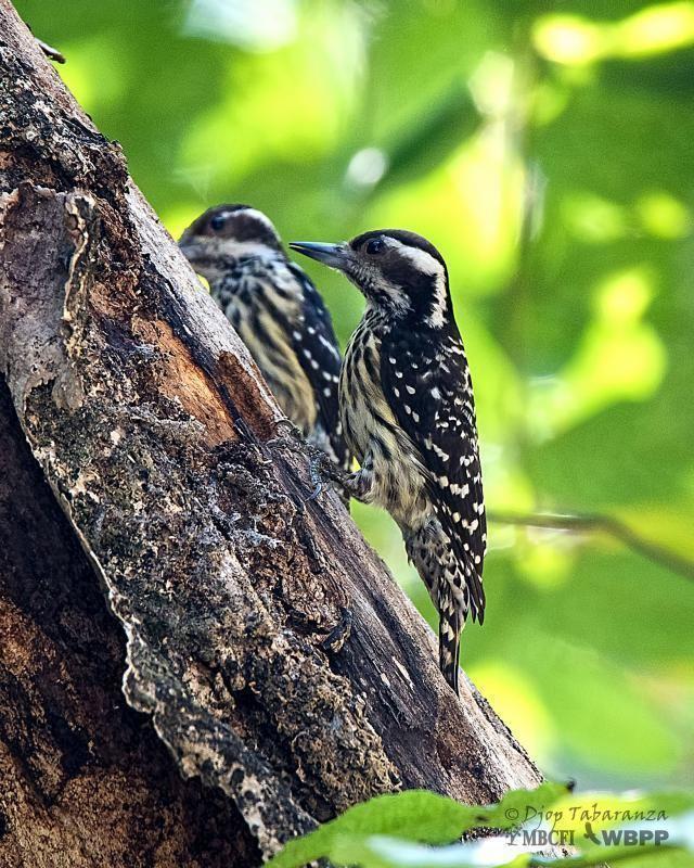 Philippine pygmy woodpecker Philippine Pygmy Woodpecker Picoides maculatus videos photos and