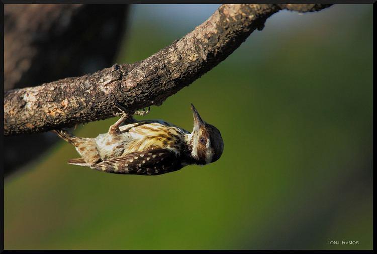 Philippine pygmy woodpecker Nature Page Meet the Philippine Pygmy Woodpecker
