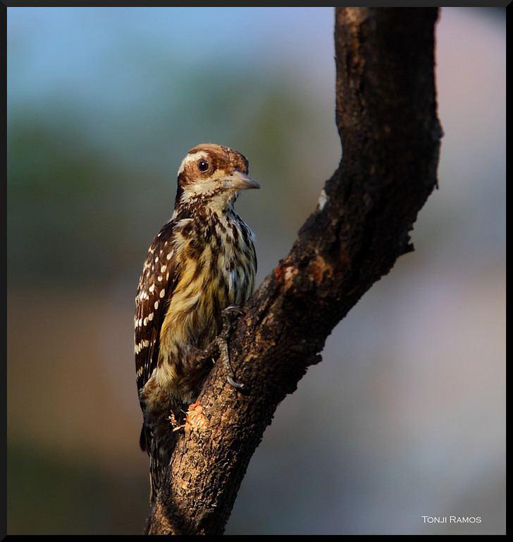 Philippine pygmy woodpecker tonjiandsylviasbirdlistsmugmugcomListWoodpecke