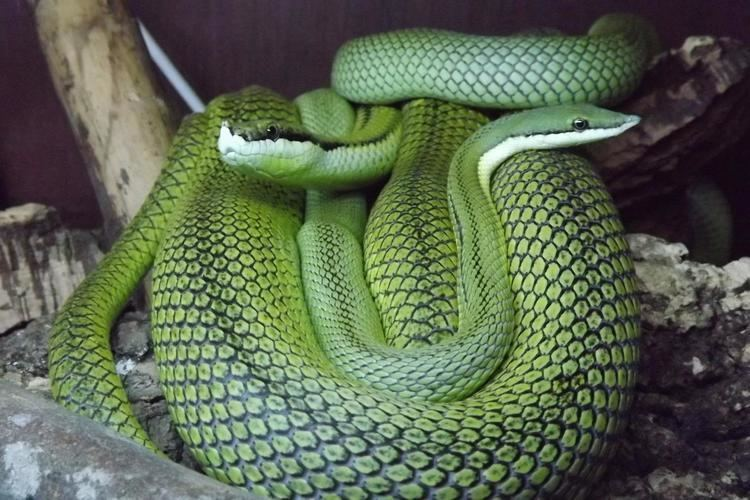 Philodryas baroni Wales Philodryas baroni Barons Racer Reptile Forums