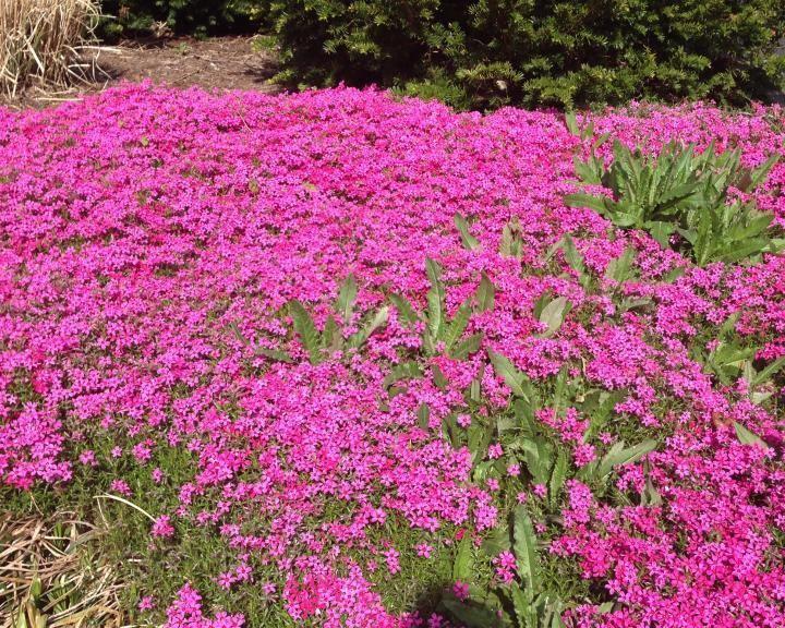 Phlox Phlox Planting Growing and Caring for Phlox The Old Farmer39s