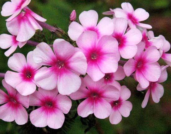 Phlox Garden Phlox Phlox paniculata Species Page