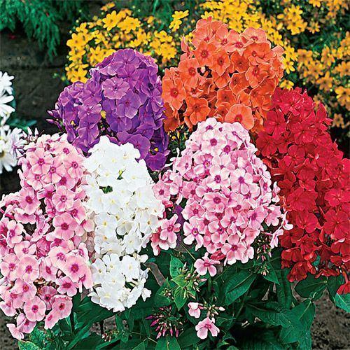 Phlox Tall Phlox Plants