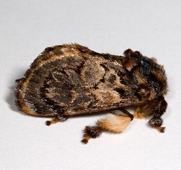 Phobetron pithecium Moth Photographers Group Phobetron pithecium 4677