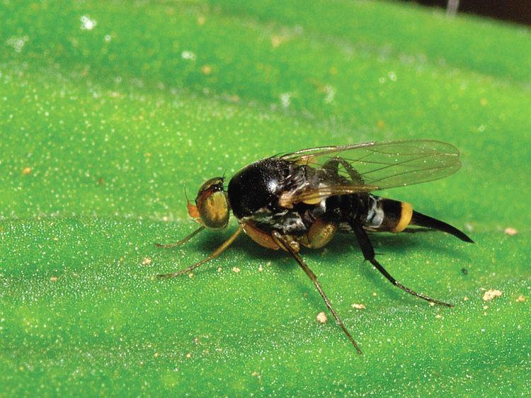Phoridae Phoridae Zurqui AllDiptera Biodiversity Inventory