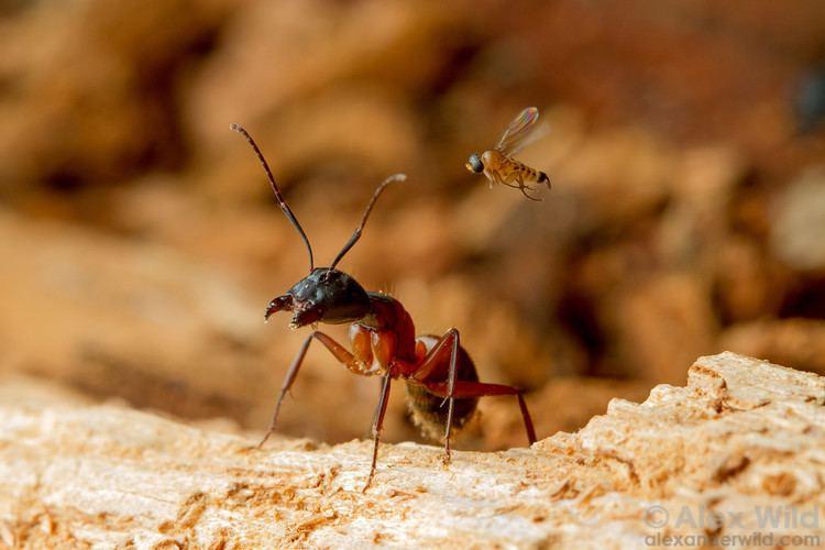Phoridae Alex Wild Photography Photo Keywords phoridae