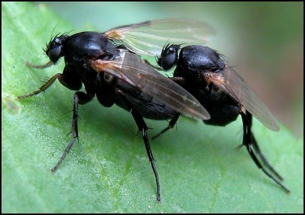 Phoridae Dipterainfo Discussion Forum Phoridae 2
