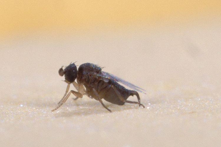 Phoridae Phoridae Wikipedia