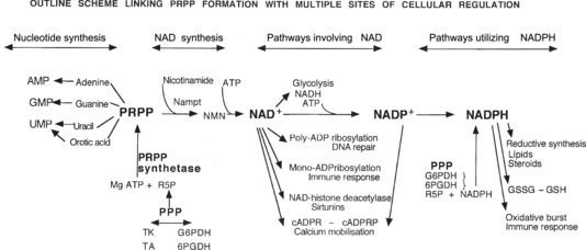 Bildresultat för phosphoribosyl pyrophosphate synthesis