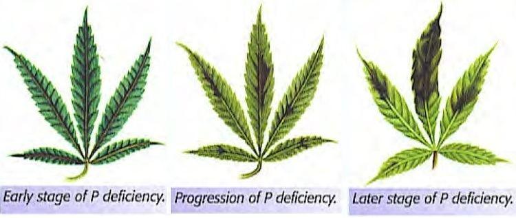 Phosphorus Stop Phosphorus Deficiencies In Marijuana Plants Now
