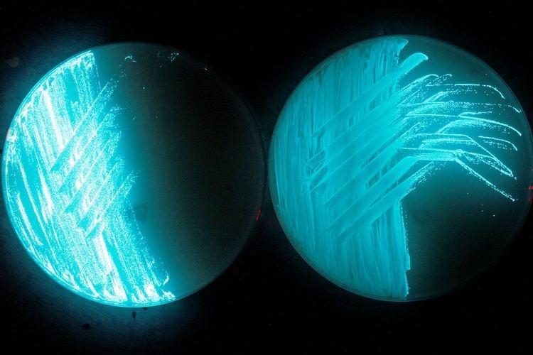 Photobacterium Optimizing Bioluminescence Photobacterium phosphoreum HB