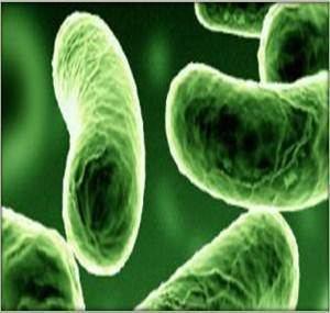 Photobacterium Photobacterium leiognathi MicrobeWiki
