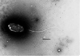 Photobacterium Photobacterium profundum MicrobeWiki