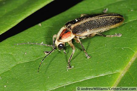 Photuris firefly Photuris BugGuideNet