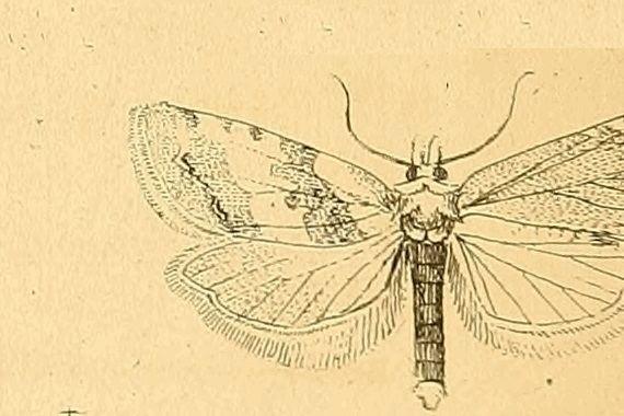 Phtheochroa procerana