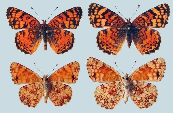 Phyciodes mylitta Phyciodes mylitta mylitta Raising ButterfliesHow to find and