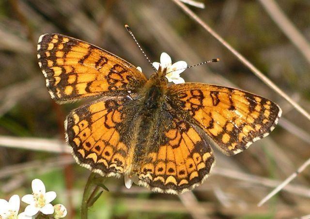 Phyciodes mylitta Phyciodes mylitta Art Shapiro39s Butterfly Site