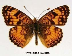 Phyciodes mylitta Phyciodes mylitta Mylitta Crescent Discover Life
