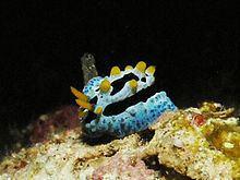 Phyllidia coelestis httpsuploadwikimediaorgwikipediacommonsthu