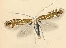 Phyllonorycter esperella httpsuploadwikimediaorgwikipediacommonsthu